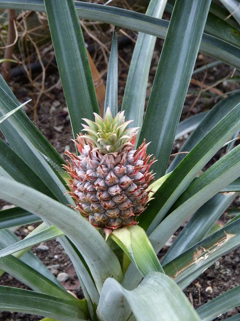 ananas comosus pflanze 5cm echte ananaspflanze essbare s e fr chte green future pflanzenhandel. Black Bedroom Furniture Sets. Home Design Ideas