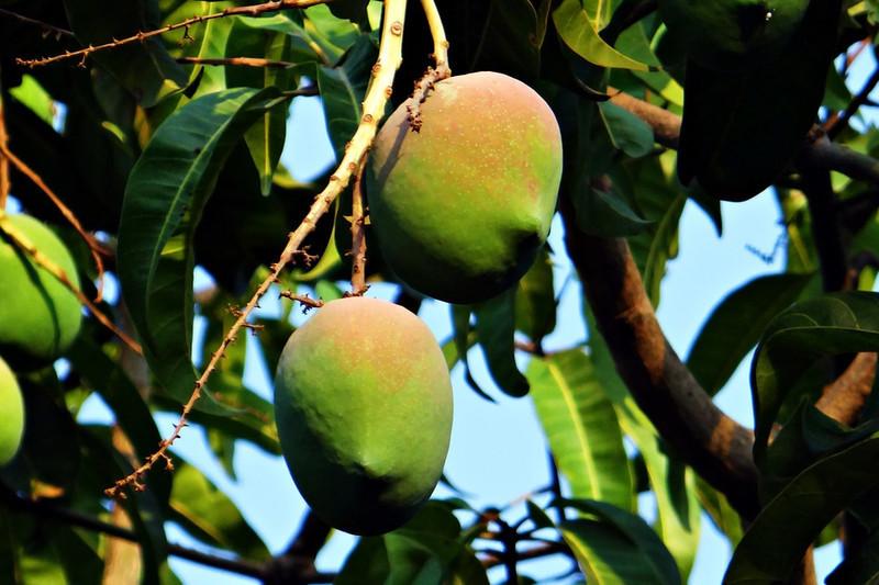 mangobaum mangifera indica mango pflanze 20cm s e essbare. Black Bedroom Furniture Sets. Home Design Ideas