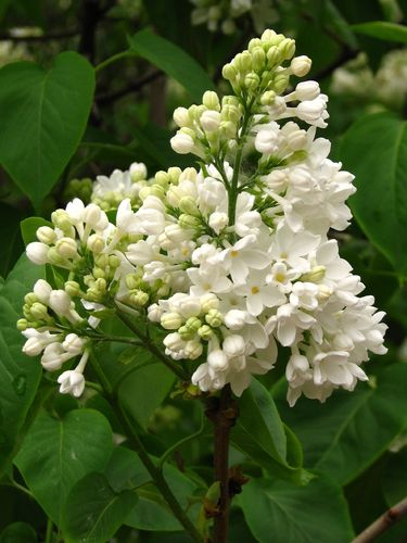Gemeiner Flieder Syringa vulgaris Pflanze 35-40cm gewöhnlicher lila Flieder