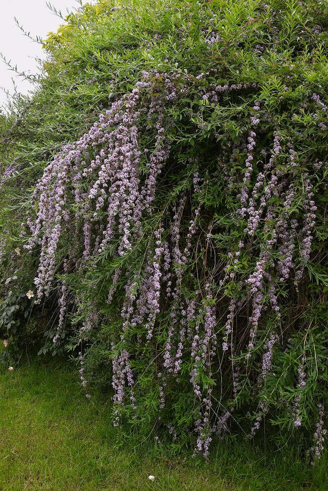 H/änge-Sommerflieder Buddleja alternifolia Pflanze 5-10cm Schmetterlingsflieder