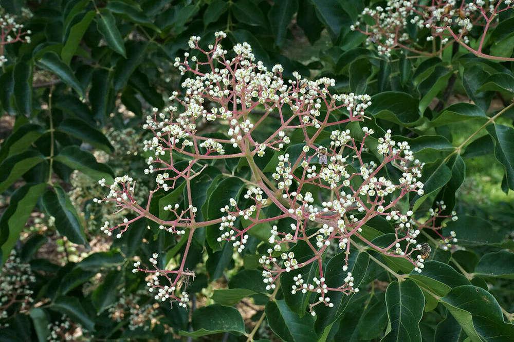 Tausendblütenbaum Honigesche Tetradium daniellii Bienenbaum Euodia hupehensis